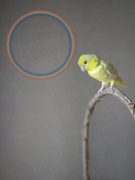 yellow bird + circle rainbow