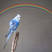 blue bird + supernumerary rainbow