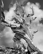 Bristlecone Pine (from ANCIENT TREES: PORTRAITS OF TIME)