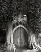 Sentinels of St. Edwards (from ANCIENT TREES: PORTRAITS OF TIME)